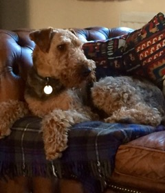 Life With An Airedale The Official Global Airedale Terrier Club
